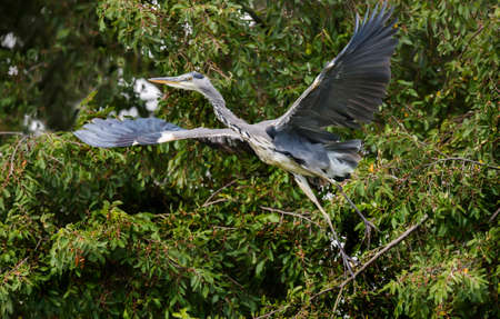 cinerea: Heron, ardea cinerea, flying from a tree