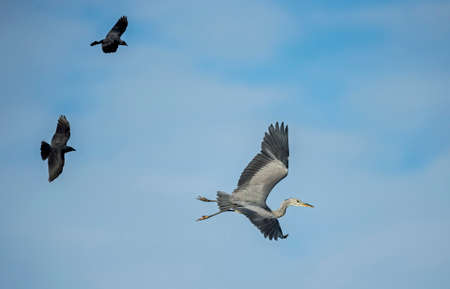 chased: Grey Heron, ardea cinerea, being chased by two Crows