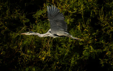 ardea cinerea: Grey Heron, ardea cinerea, flying from a tree Stock Photo