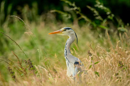 grey heron: Grey Heron in long grass