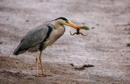 grey heron: Grey Heron, ardea cinerea, eating a frog Stock Photo