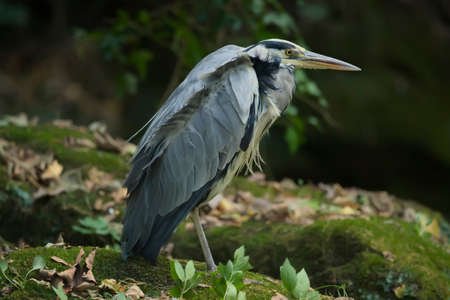 ardea cinerea: Grey Heron, ardea cinerea, standing on a rock by the riverside close up