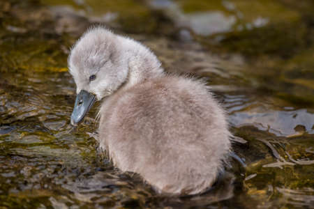 cygnet: Cygnet in the river, close up
