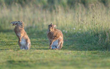 exhibiting: Hare in the grass