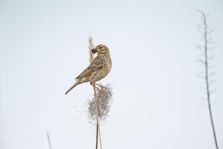 beak: Meadow pipit on a branch with bugs in its beak