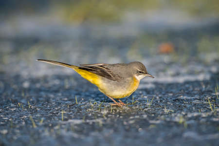 beak: Grey wagtail on ice with a bug in its beak Stock Photo