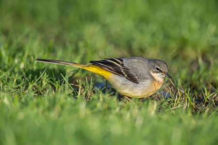 grass close up: Grey Wagtail on the grass, close up Stock Photo