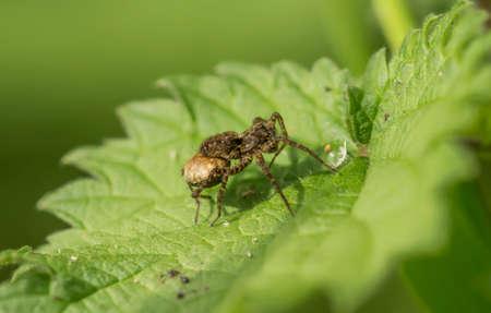 araneae: Spider on a leaf