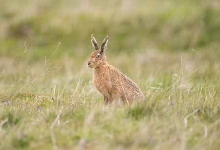 liebre: Hare en la hierba