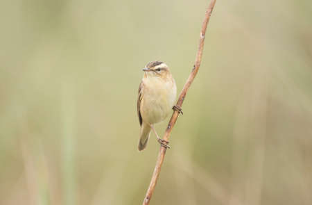 warbler: Sedge warbler perched on a single twig Stock Photo