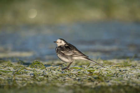 srokaty: Pied Wagtail on the snow covered grass