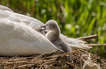 cygnet: Cygnet in adult Swans tail feathers pecking a sibling