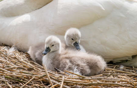 cygnet: Cygnets sitting in front of an adult swan