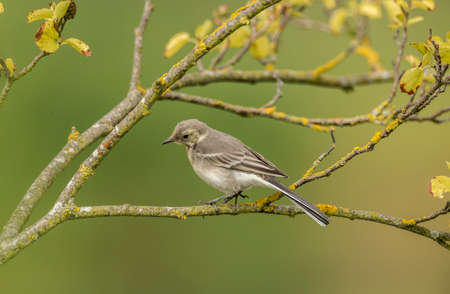 srokaty: Pied Wagtail, juvenile, perched on a branch