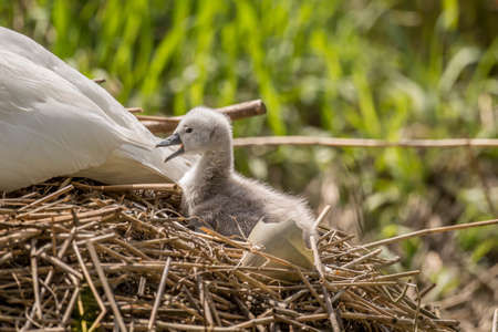 hatched: Cygnet sitting behind adult Swan tail feathers with an open beak, next to a newly hatched egg shell