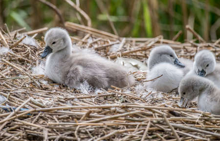 recently: Cygnets, recently hatched, on the nest