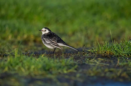 froze: Pied wagtail, Motacilla alba standing on the icy ground looking for food