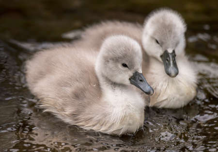 Two Cygnets in the river close up