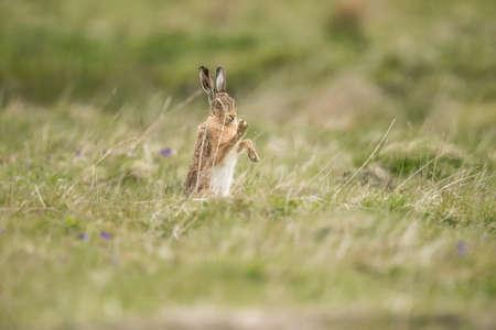 hare: Hare en la hierba