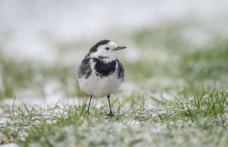 pied: Pied Wagtail on the snow covered grass