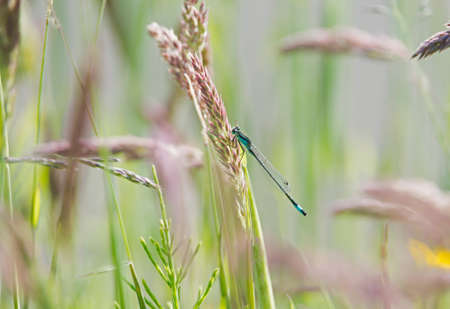 zygoptera: Damselfly on grass