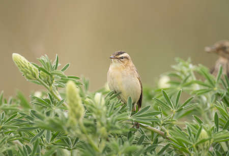 warbler: Sedge warbler perched in a tree Stock Photo