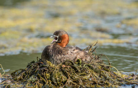 tweeting: Little grebe sitting on the nest on a pond, squawking