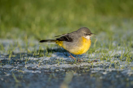 tweeting: Grey wagtail on ice tweeting Stock Photo