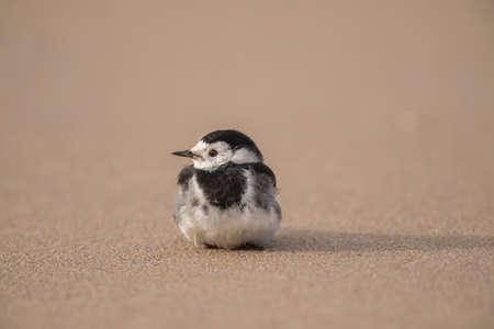 srokaty: Pied Wagtail, resting, on the beach sand Zdjęcie Seryjne