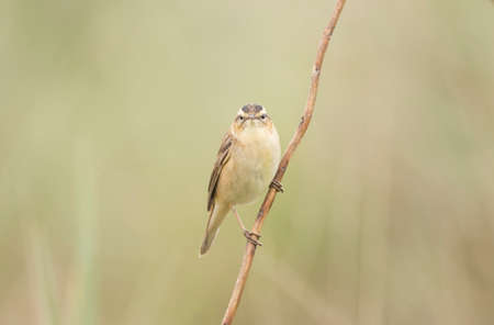 perched: Sedge warbler perched on a single twig Stock Photo