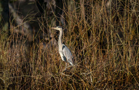 cinerea: Heron, ardea cinerea, sitting in a tree Stock Photo