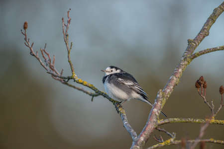 srokaty: Pied Wagtail perched on a branch
