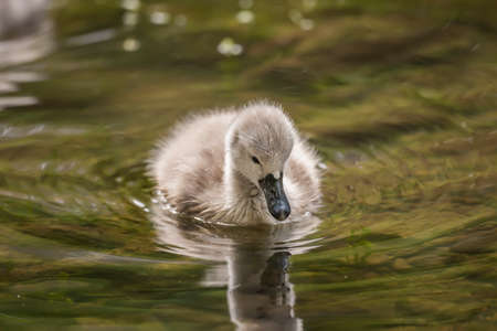 juveniles: Cygnet floating on the river, reflected in the water, close up