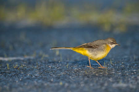 wagtail: Grey wagtail walking on ice