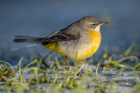 grass close up: Grey wagtail on frosty grass, close up