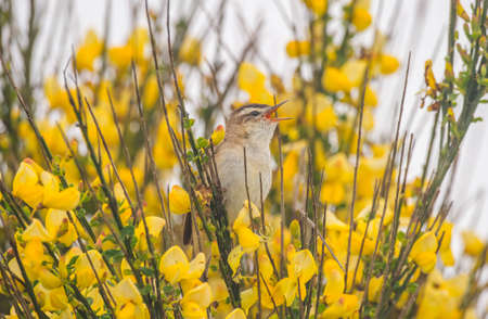 tweeting: Sedge warbler perched in a tree, tweeting