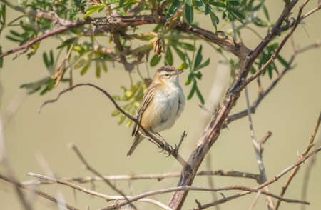 perched: Sedge warbler perched in a tree Stock Photo