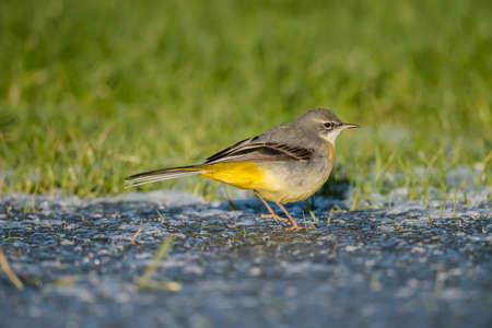 wagtail: Grey wagtail on ice