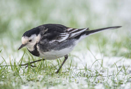 pied: Pied Wagtail on the snow covered grass, close up Stock Photo