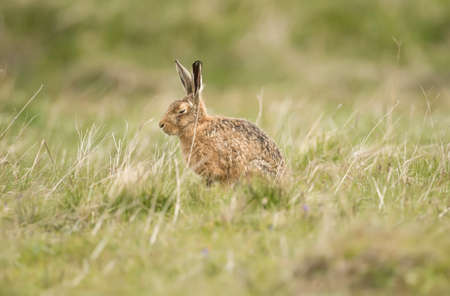 hare: Hare in the grass