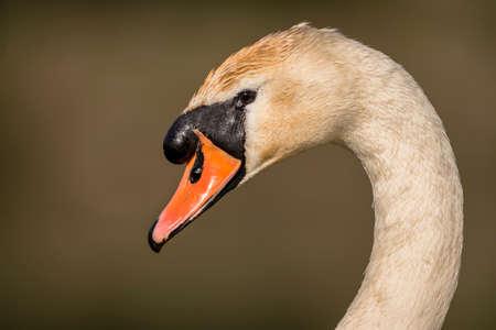 head close up: Swans head, close up