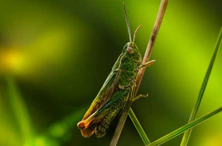 caelifera: Grasshopper on a blade of dry grass