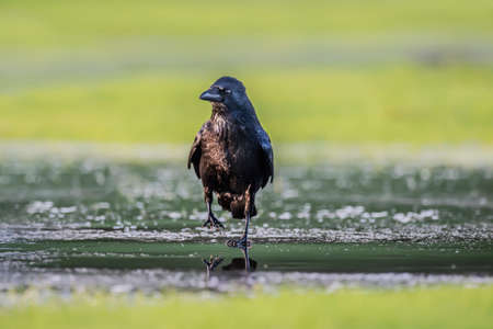 corvus: Crow, Corvus corone, on ice