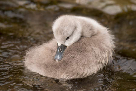 cygnet: Cygnet resting in the river, close up