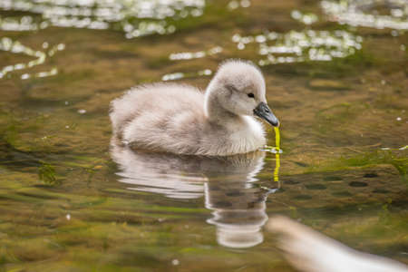 cygnet: Cygnet in the river with pond weed in its beak