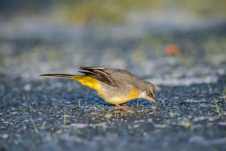 wagtail: Grey wagtail on ice, looking for food