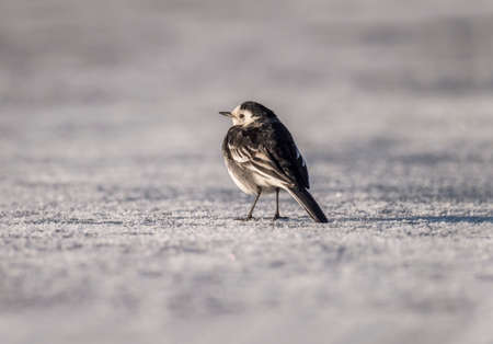 pied: Pied Wagtail on icy ground Stock Photo