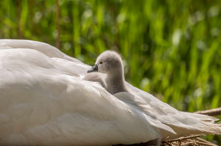 cygnet: Cygnets in adult Swans tail feathers