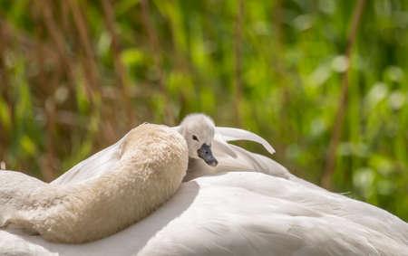 cygnet: Cygnet sitting on its sleeping adult Swans back