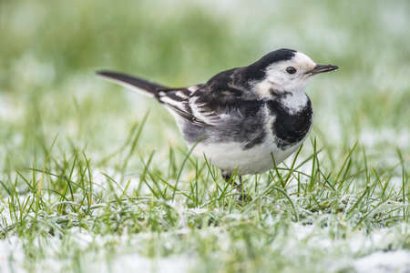 grass close up: Pied Wagtail on the snow covered grass, close up Stock Photo